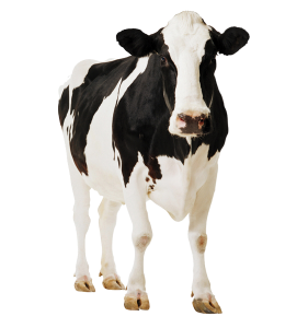 Cow-PNG-5